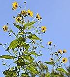 PLAT FIRM SEMI DI GERMINAZIONE: Topinambur (Sun BOBINES)
