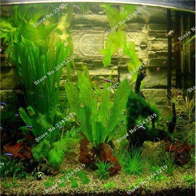 1bag un 200pcs Rare Aquarium Planten mousse de Java Semence à gazon Raros Aquario Fish Tank aquatique Graines de plantes Maison & Jardin Plantes Cadeaux