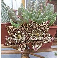 ChinaMarket 100pcs / bag Stapelia pulchella Semi Pelle di leopardo Piante Succulente Lithops fiori