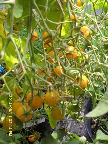 Famous Hungarian Tomato \