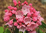 PLAT FIRM KEIM SEEDS: Kalmia latifolia 'Nathan Hale' - Berg Lorbeer- STARTER PLANT