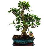 Glicine bonsai piante bonsai coltivazione glicine bonsai for Potatura ficus benjamin