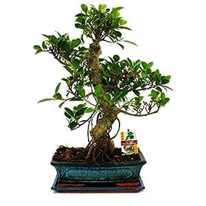 Exotenherz.de - Bonsai di Ficus retusa cinese, 12-15 anni