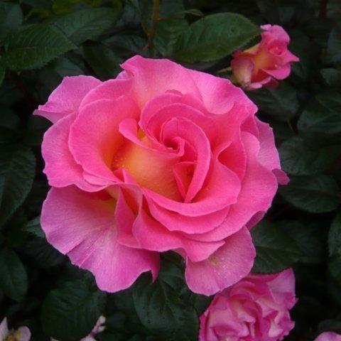 Pink Paradise® ADR Duftrose Edelrose