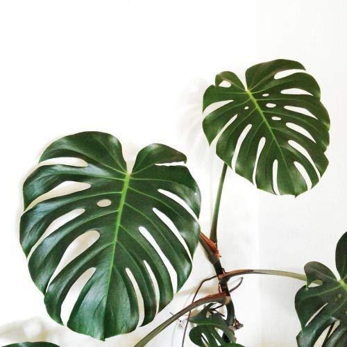 Portal Cool 100Pcs Monsa Samen Palm Turtle TopfSaat Bonsai-Baum-Dekor-Hausgarten
