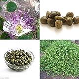 20 Semi Cappero Bush (Capparis spinosa) uso come medicina & Culinary Herb-perenne