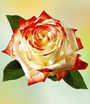 Delbard® Parfum-Rosen 'Impératrice Farah®', 1 Pflanze Duftrosen Edelrose von Delbard bei Du und dein Garten