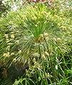 Tropica - Wasserpflanzen - Ägyptische Papyrusstaude (Cyperus papyrus) - 15 Samen von Tropica bei Du und dein Garten