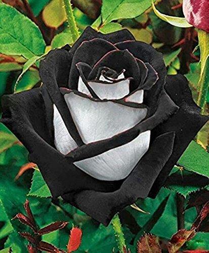 Xuanqin 50 graines de rose rosier couleur noire et blanche RARE envoi sous 48h