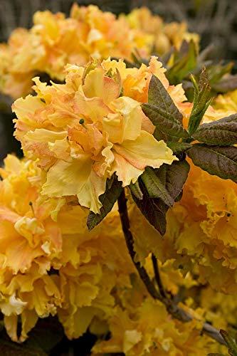 Shopvise 15 riesige gelbe Azaleen-Samen * Rhododendron * 6 'bis 10' Ft. * Süß duftend * auffällig * # 1232