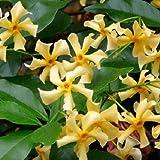 Sternjasmin: 2 x Toscan Jasmin (Immergrün)) - lieblich-Intensiven Duft | 2 Kletterpflanzen - Gelb & Winterhart - Immergrün - 2 x 1,5 Liter Topfen | ClematisOnline Kletterpflanzen & Blumen