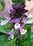 Tropica - Erbe - Basilico cannella messicano (Ocinum basilicum cannella) - 200 semi