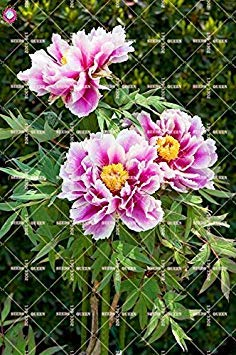 10 pcs Double Blooms Pivoine Graines Heirloom Sorbet robuste Pivoine rouge Bonsai Graines de fleurs Pot Arbre Pivoine Jardin Graines Plante 15