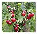 """Premier Seeds Direct Chilli """"Ciliegia Piccante Santans Kuss"""" beinhaltet 100 Samen"""