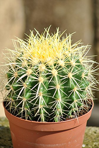 """Echinocactus grusonii,""""Schwiegermutterstuhl"""",groß+kräftig,15cm Durchmesser"""
