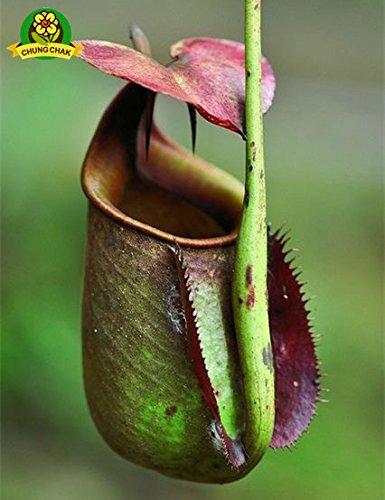 Manger moustiques Plantes carnivores Graines Nepenthes 200pcs / sac Pitcher Tropical Plante Catch insectes Jardin Bonsai pot Easy Grow 2