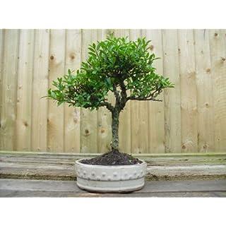 Bonsai Tree Ilex 15cm drum Pot