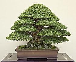 Japanese Black Pine Bonsai Seeds by National Gardens