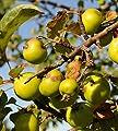 Wildapfel Malus sylvestris Holzapfel Baum des Jahres 2013 25 Samen