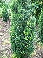 Becher Eibe Taxus media Hicksii 60-70 cm hoch mit Ballen von Plantenwelt bei Du und dein Garten