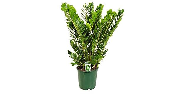 Topf 24 cm Dracaena surculosa Pflanzen K/ölle Drachenbaum H/öhe 100 cm