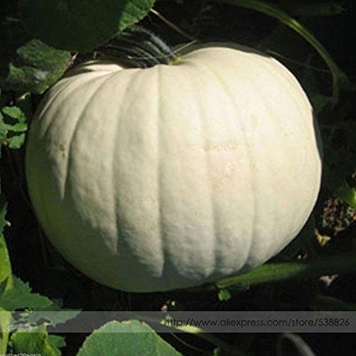 Mondenschein-Kürbis Glatte Enthäutete Weiß Kürbis-Samen, Profi-Pack, 10 Samen / Pack, ideal für die, die # NF988