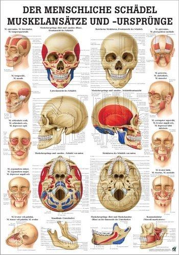 Ruediger Anatomie MIPO66LAM Der menschliche Schädel Muskelansätze und Ursprünge Tafel, 24 cm x 34 cm, laminiert