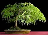 PLAT FIRM GERMINATIONSAMEN: 60 Samen: Japanisches Ahorn-Ahornblatt, Acer palmatum dissectum, Baumsamen (Herbstfarben, Bonsai)