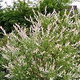 Halekin Weide, Salix integra, Zierweide 'Hakuro Nishiki als Stämmchen 60 cm