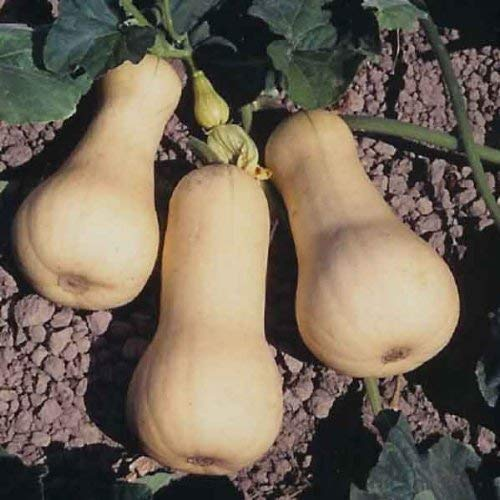 Seekay Hiver Courge Waltham Butternut 10 Graines