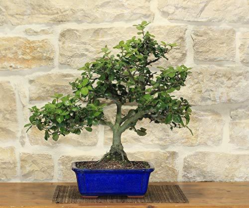 bonsai di quercia - leccio (35)