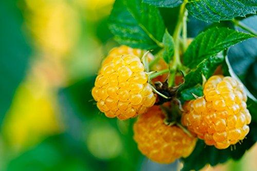 Himbeerpflanze mit gelben Früchten - Rubus idaeus TwoTimer Sugana® - 50-70cm im 2Ltr. Topf