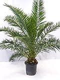 Phoenix canariensis - kanarische Dattelpalme - 180 cm // dicker Stamm // Indoor & Outdoor Palme