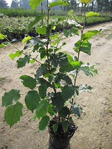 Corylus avellana - Gemeine Hasel - Haselnussstrauch - 60-100 cm