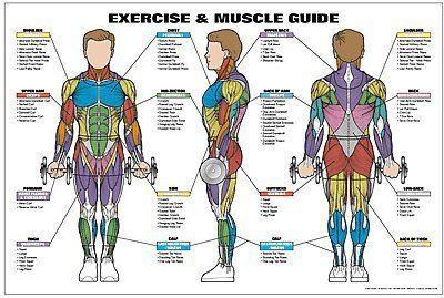 Exercise & Muscle Guide-Male 24x36 by Fitnus Chart Series