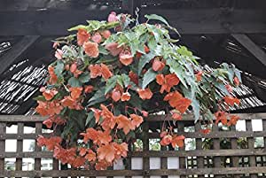 Fiore - Begonia Supercascante F1 Salmone - 10 Semi Pellettati