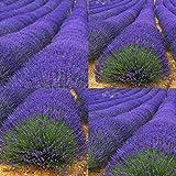 ScoutSeed Type5 200 stücke: Neue Garten Aromatische Gewürze Vielzahl Kräuter Samen Pflanze Gemüse Lavendel Kraut