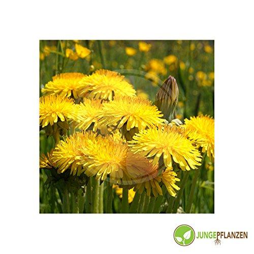 Graines d'herbe - Pissenlit / Taraxacum officinale - Asteraceae 1000 graines