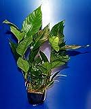 MUTTERPFLANZE Verschiedenblättriges Speerblatt / Anubias Heterophylla
