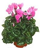 Alpenveilchen rosa - Cyclamen persicum - Zimmerpflanze blühend - Balkonpflanze, Garten- Pflanze im 11 cm Topf