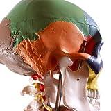 S24.2301Anatomischer Didaktik - Schädel, farbig, auf Halswirbelsäule, 4-teilig -