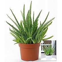 BALDUR-Garten Aloe Vera ,1 Pflanze