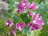Polygala myrtifolia 10 Semi, milkwort Sweet Pea Arbusto/Myrtle foglie di Bush