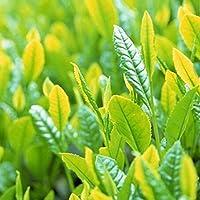 WuWxiuzhzhuo Big Promotion - Juego de 5 Semillas de árbol de Té, orgánicas, saludables, Verdes