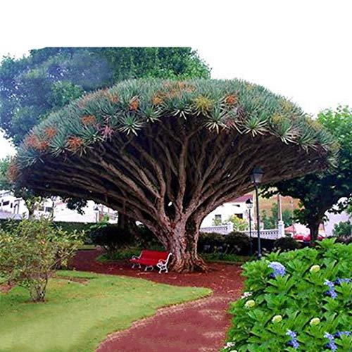 Wekold Dragon Blood Tree Samen Riesen exotischen Baum Bonsai Samen