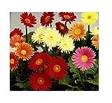 12x Gerbera großblumig gemischt - Samen Blume Garten Pflanze Saatgut KS364
