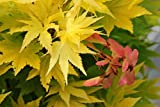 #10: Japanese Maple Coonara Pygm Golden Leaves Tree Seeds