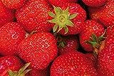 1art1 115249 Früchte - Süße Erdbeeren XXL Poster 180 x 120 cm