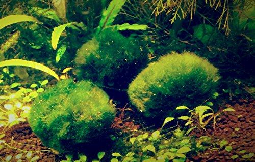 10 kleine 1-3 cm Chladophora aegagropila - Mooskugel