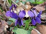 Viola Odorata, Sweet Violet, 0.25g Approx 75 Seeds, untreated